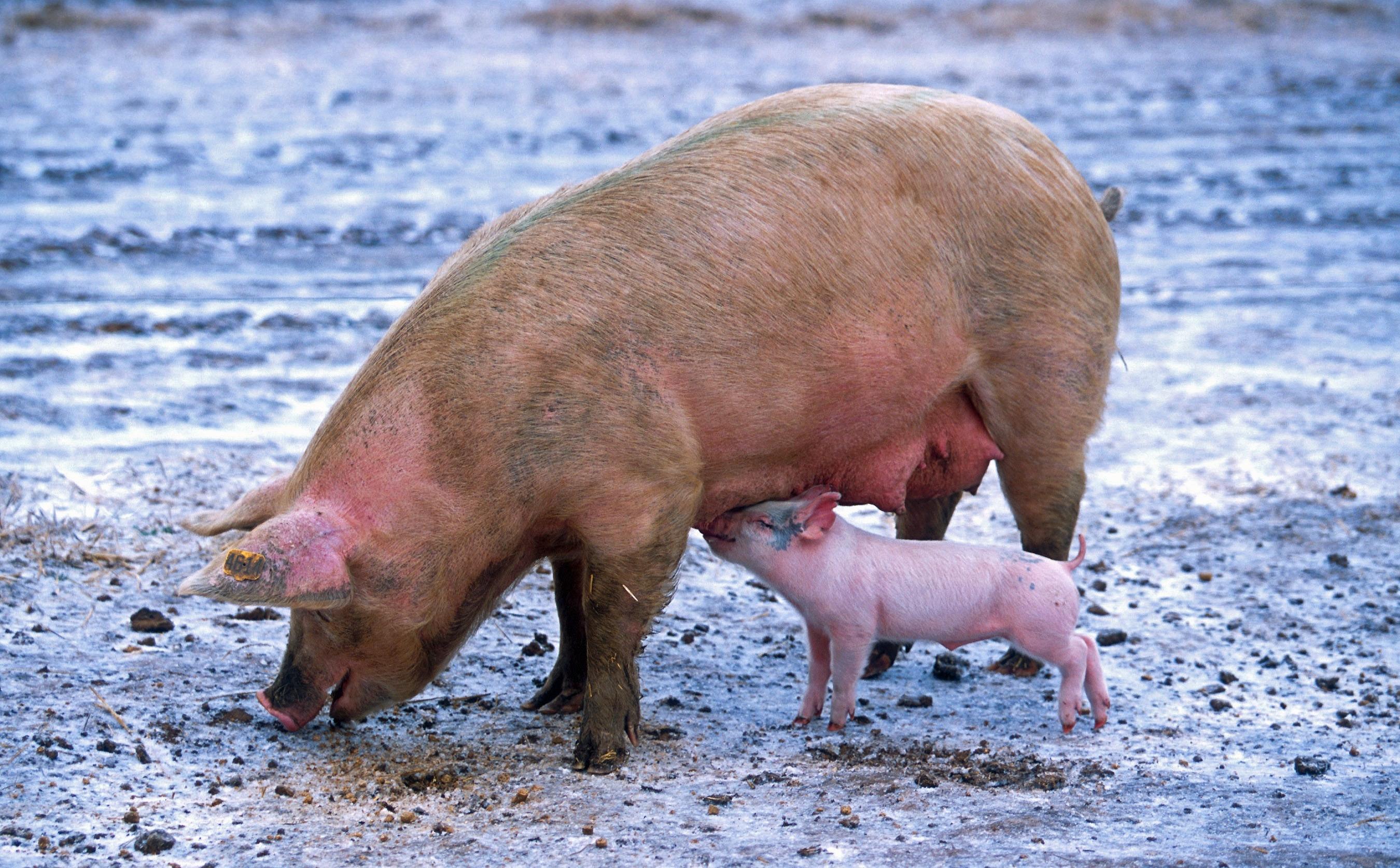 animals-farm-nursing-69397